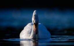Cigno sul fronte dell'acqua blu sopra Fotografie Stock
