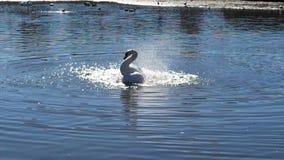 Cigno sul lago archivi video