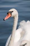 Cigno sul lago Fotografie Stock Libere da Diritti