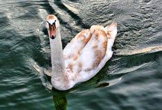 Cigno sul lago Fotografia Stock Libera da Diritti