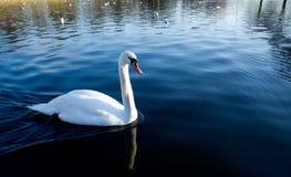 Cigno sul lago immagine stock libera da diritti