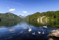 Cigno sul lago Alpsee nella mattina soleggiata di estate delle alpi bavaresi La Baviera, Germania Immagini Stock