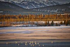 Cigno sul lago Hebgen Immagini Stock Libere da Diritti
