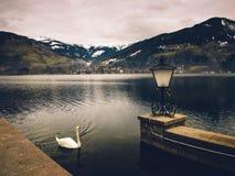 Cigno sul lago mountain Fotografie Stock Libere da Diritti