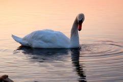 Cigno sul lago Ontario 2 Immagini Stock Libere da Diritti