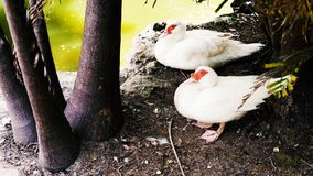 Cigno sul nido //Swan Cigni bianchi Oca Oche con le giovani papere su erba verde Cigno dell'uccello, oca dell'uccello Famiglia de fotografia stock