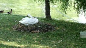 Cigno sul suo nido vicino ad un lago stock footage