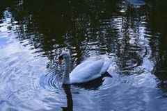Cigno sull'acqua fotografie stock