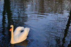 Cigno in un lago Fotografie Stock Libere da Diritti