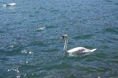 Cigno in un lago blu Immagine Stock Libera da Diritti