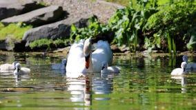 Cigno unico con i bambini in un lago, alta foto di definizione di questo aviario meraviglioso nel Sudamerica Immagine Stock