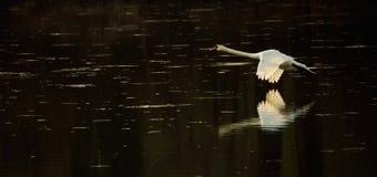 Cigno in volo durante il tramonto fotografie stock libere da diritti