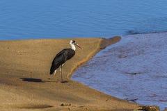 Cigogne étranglée laineuse en parc national de Kruger, Afrique du Sud photographie stock