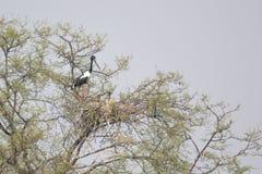 cigogne étranglée noire Photographie stock