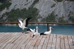 Cigogne Photos stock