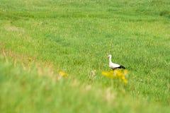 Cigogne adulte dans son habitat naturel Cigogne blanche marchant sur le pré images stock