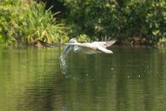 Cigogne asiatique d'openbill éclaboussant l'eau tout en volant Photo stock