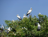 Cigogne asiatique d'Openbill Photos stock