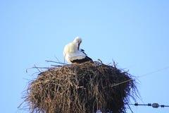 Cigogne au nid Photo libre de droits