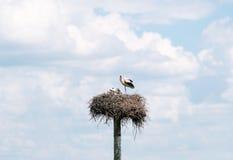 Cigogne avec des oiseaux de bébé dans le nid Photos stock