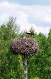 Cigogne avec des oiseaux de bébé dans le nid Images libres de droits