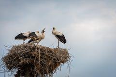 Cigogne avec des oiseaux de bébé dans le nid Photographie stock libre de droits