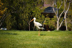 Cigogne blanche à Tashkent, jardin japonais, l'Ouzbékistan Photographie stock libre de droits