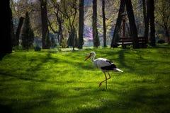 Cigogne blanche à Tashkent, jardin japonais, l'Ouzbékistan Image libre de droits