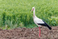Cigogne blanche photo stock