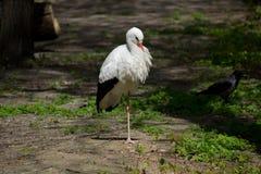 Cigogne blanche photos stock