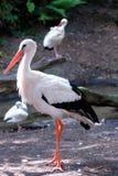 Cigogne blanche Images stock