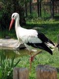 Cigogne blanche Photo stock