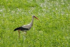 Cigogne blanche photographie stock libre de droits
