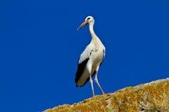 Cigogne blanche Images libres de droits