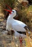 Cigogne blanche Image libre de droits