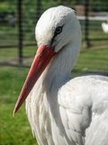 Cigogne blanche Photos libres de droits