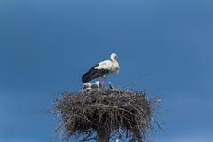 Cigogne blanche avec des débutants sur un nid Images libres de droits