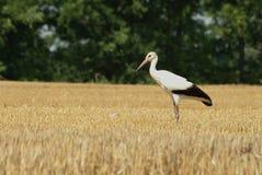 Cigogne blanche avec le chemin de découpage Images libres de droits