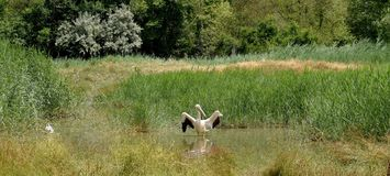 Cigogne blanche ciconia conica Stock Images