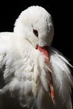 Cigogne blanche, ciconia de Ciconia Images libres de droits