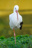 Cigogne blanche (ciconia de Ciconia) Photographie stock libre de droits