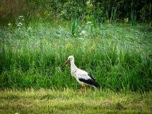 Cigogne blanche dans un domaine Photos libres de droits