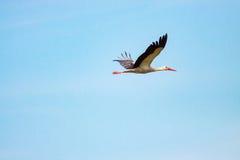 Cigogne blanche en vol Photos libres de droits