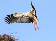 Cigogne blanche entrante, débarquant sur le nid photos stock