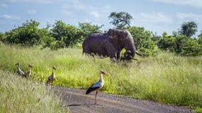Cigogne blanche et éléphant africain de buisson en parc national de Kruger, S image libre de droits