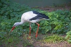 Cigogne blanche recherchant la nourriture images libres de droits