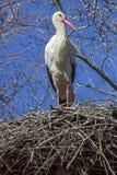 Cigogne blanche sur le nid photographie stock