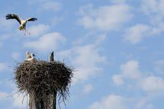 Cigogne blanche volante Photos libres de droits