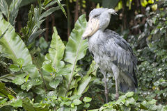 cigogne Chaussure-affichée dans la jungle Photographie stock