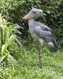 cigogne Chaussure-affichée dans la jungle Images libres de droits